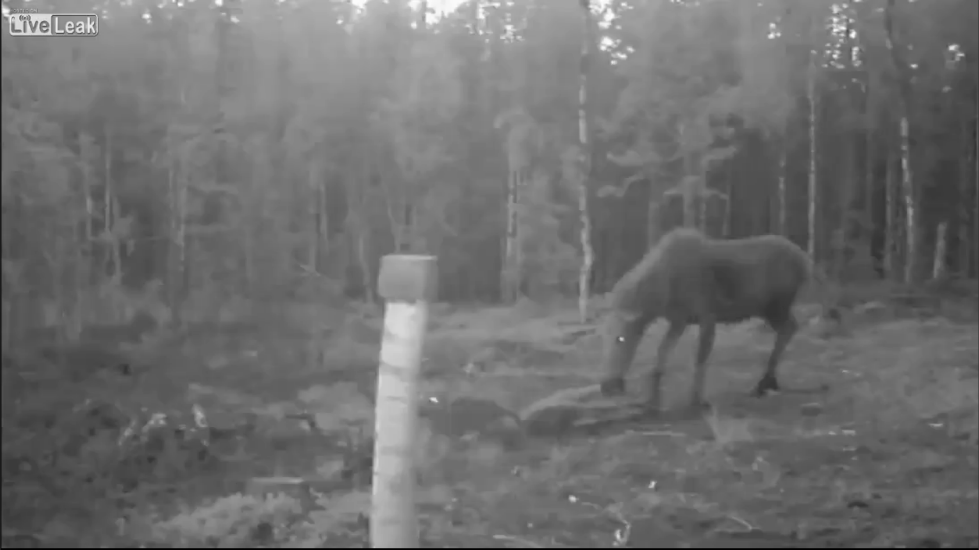 Video: Moose Tramples Calf Defending It from Wolves