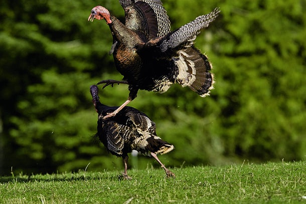 Turkey Hunting: Fake a Turkey Fight to Call Spring Gobblers