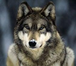 httpswww.fieldandstream.comsitesfieldandstream.comfilesimport2014importBlogPostembedgrey-wolf_565_600x450_0.jpg