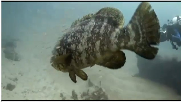Florida Captains Say It's Time To Let Them Kill Some Goliath Grouper