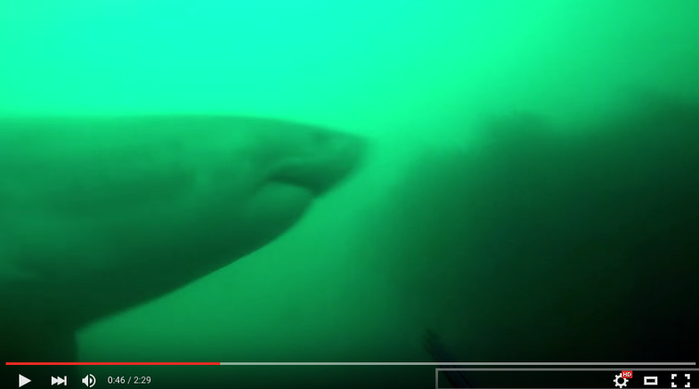 Video: Diver Has Frightening Close Call with Massive Great White