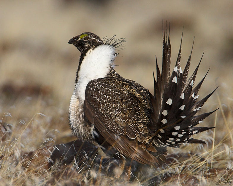 Sage Grouse Hunt Planned to Continue in Wyoming Despite Pending Endangered Listing