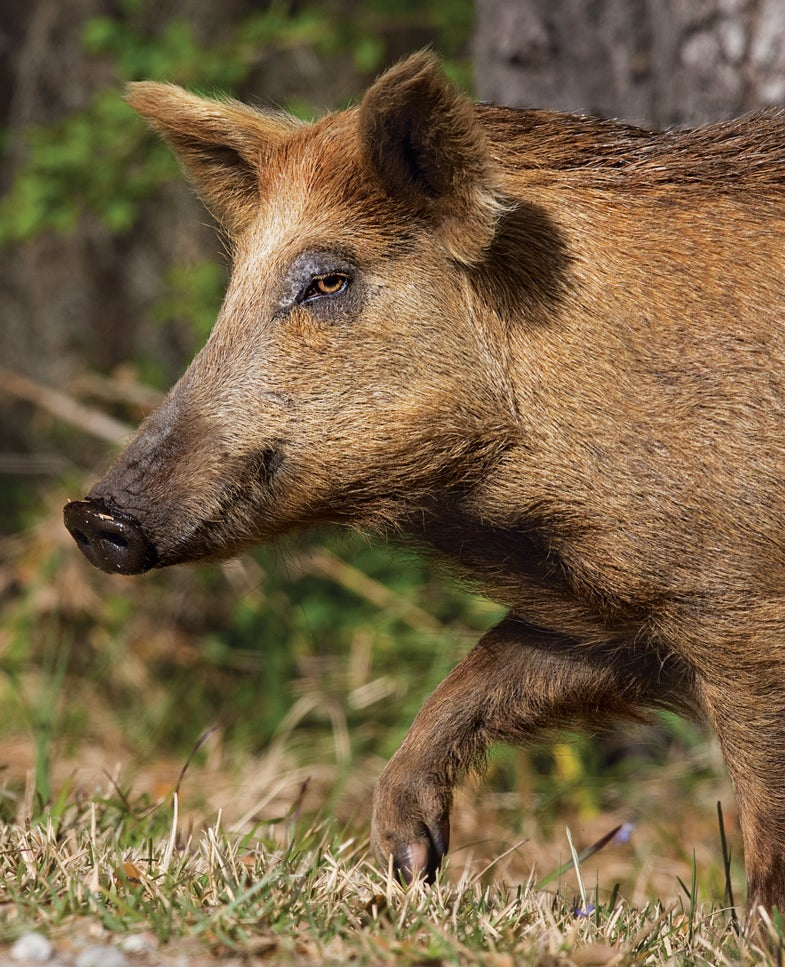 Breakout Bow Season: Early Bucks and Boars in Florida