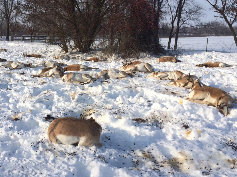 50 Pronghorn Dead After Eating Toxic Plant