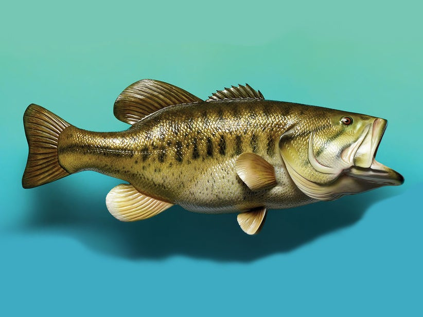 A stuffed and mounted largemouth bass on a blue/green background.