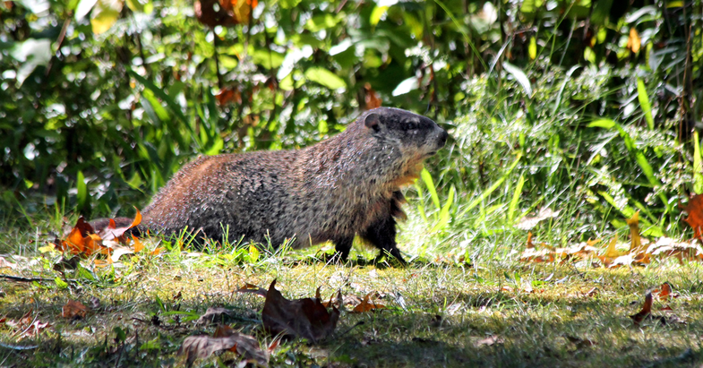 Connecticut Cemetery Holds Woodchuck Hunt