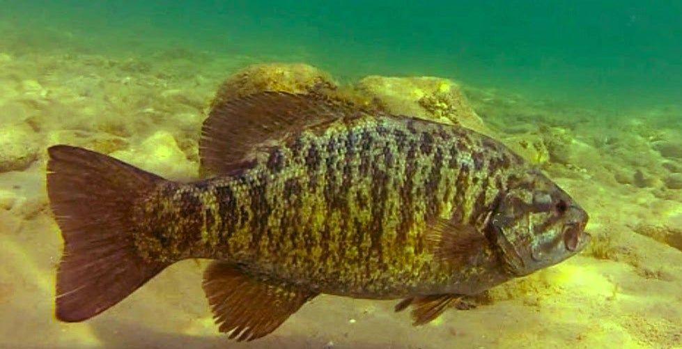 Stay Shallow For Huge Summer Smallmouths