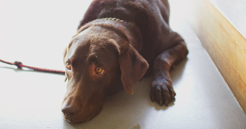Chocolate Lab Named Trigger Shoots Owner in the Foot