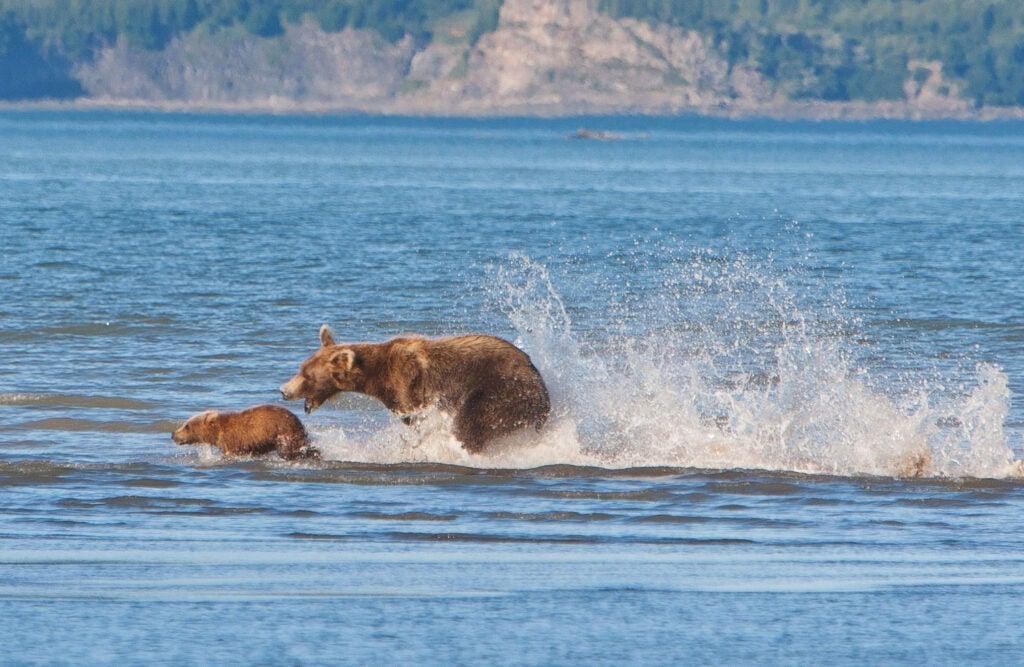 httpswww.fieldandstream.comsitesfieldandstream.comfilesimport2014importImage2011photo38356BARM_BearWars_Alaska_EXCL_005.jpg