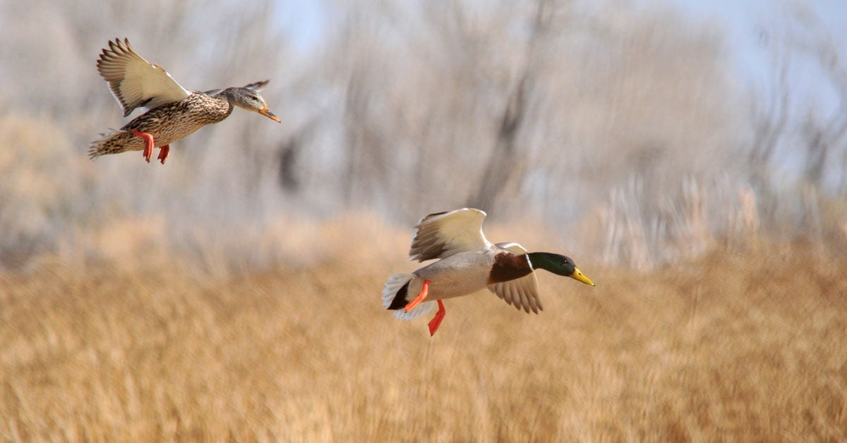 Testing Wild Ducks May Shed Light on Next Bird Flu Outbreak