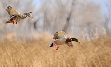 Testing Wild Ducks May Shed Light on Next Bird Flu Outbreak