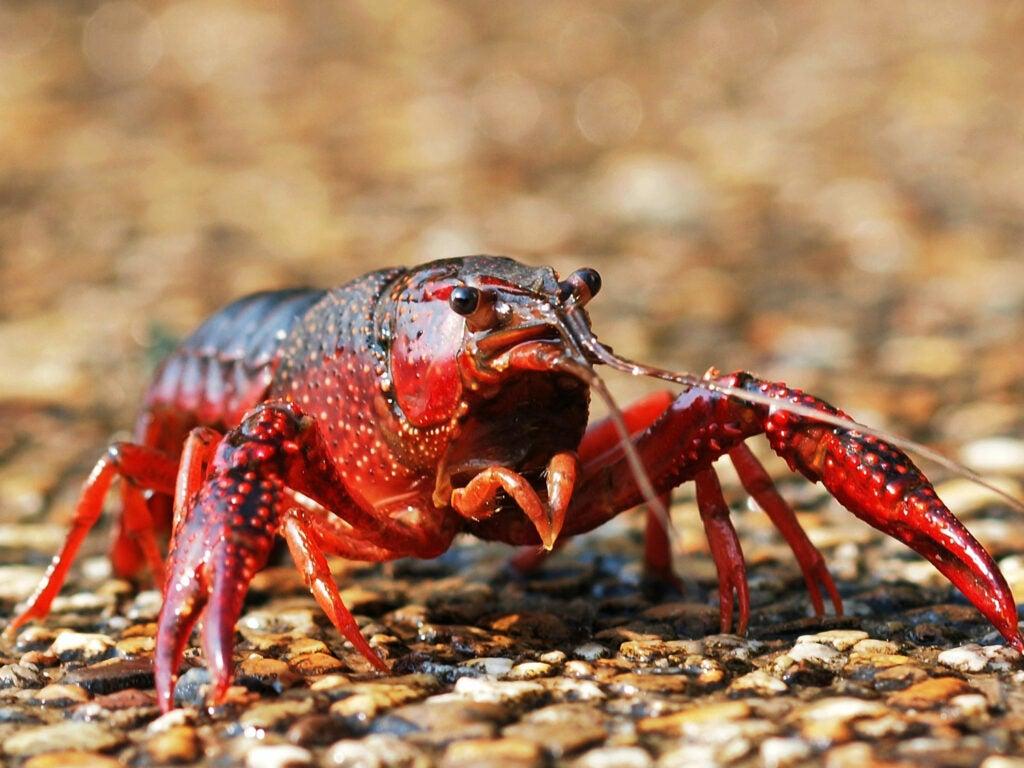 Fishing with Crayfish