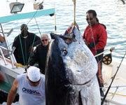 Lone Angler Lands 987 lb. Bermuda-Record Bluefin, Despite The Sharks