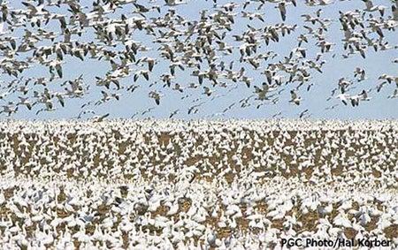 httpswww.fieldandstream.comsitesfieldandstream.comfilesimport2014importBlogPostembedsnow-geese.jpg