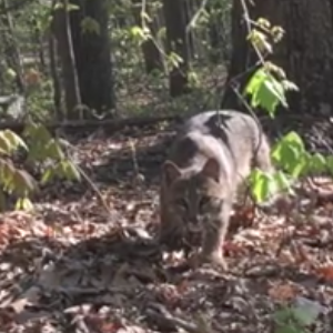 bobcat attacks turkey hunter