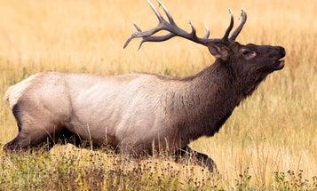 Outdoor-TV Personalities Fined $31,000 in Elk-Poaching Case
