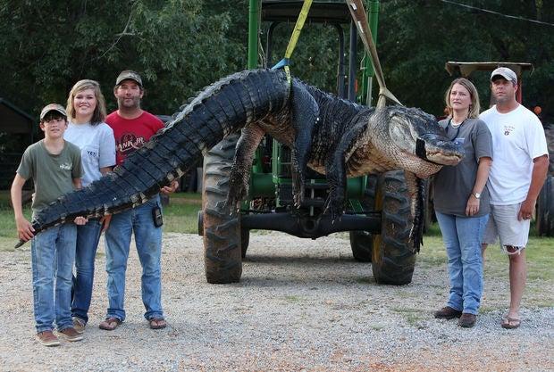 Alabama Family Lands 1,000-Plus-Pound, Pending-Record Alligator