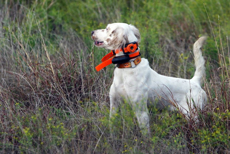 """High-Tech Texas """"Hunt"""" Uses Bird Dogs and Hunters to Gather Data on Quail Populations"""
