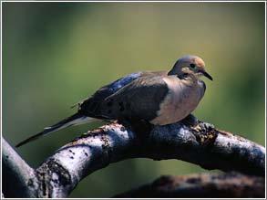 Birth, Death & Doves