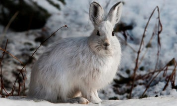 The Ultimate Guide to Hunting Snowshoe Hares
