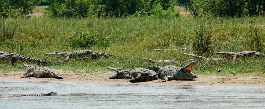 Crocodiles lounging on river bank