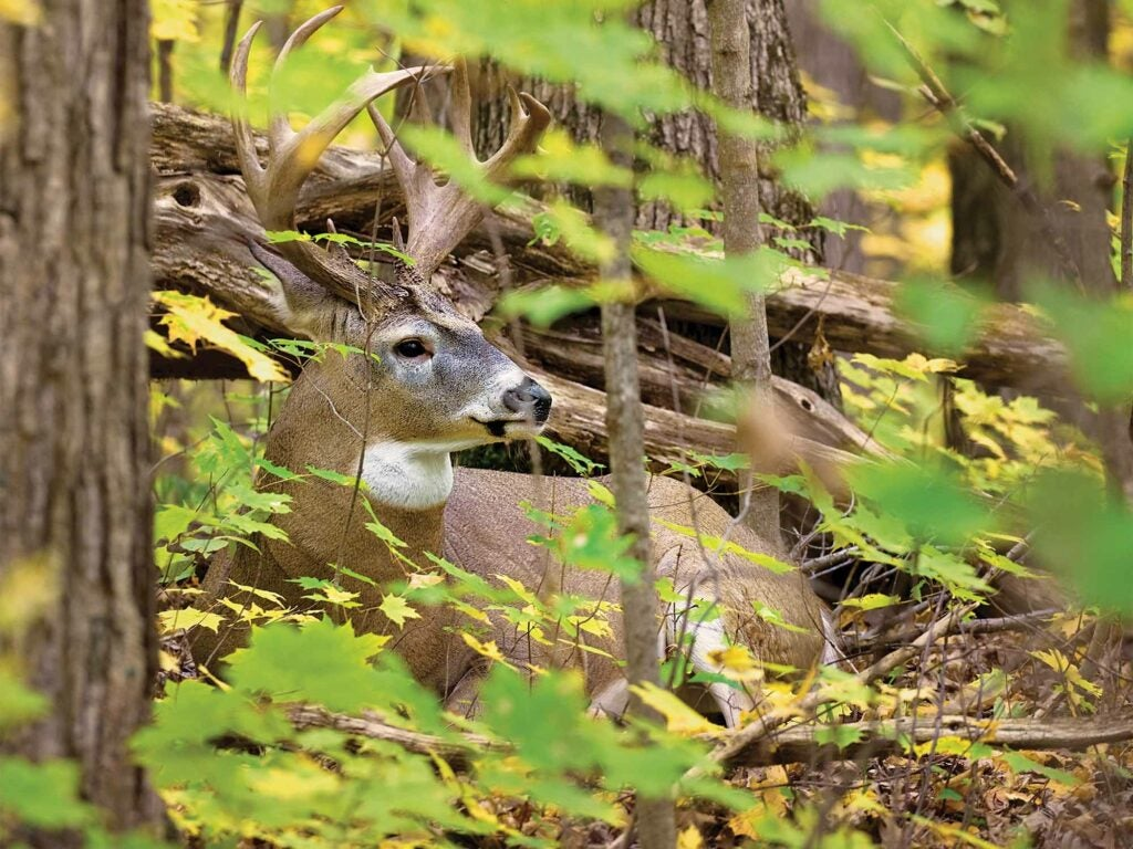 whitetail buck shaded woods breeze
