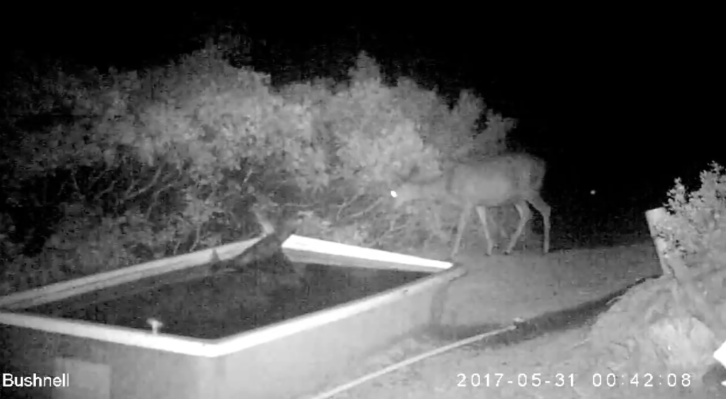 Video: Rare Footage of a Mountain Lion Taking Down a Deer
