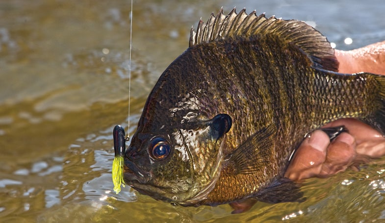 summer bluegills, bluegill fishing, panfish, summer panfish, how to catch summer bluegills,