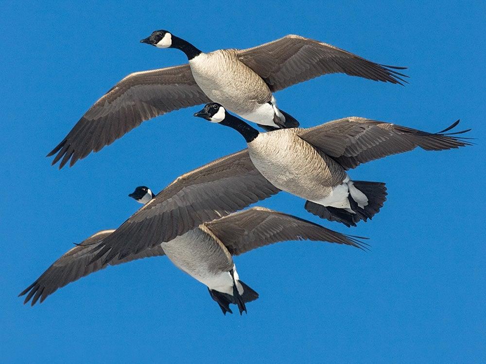 three canada geese flying
