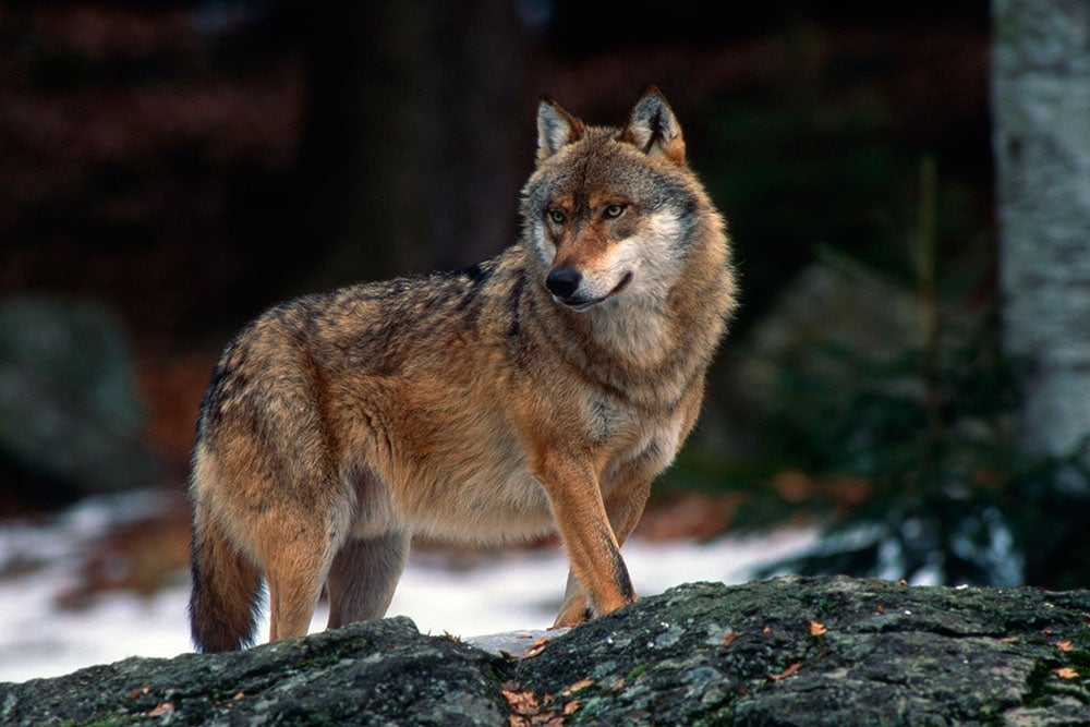 a wolf standing on a rock in the bavarian forest national park in germany