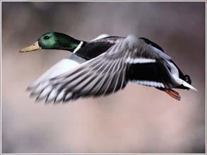 Beaver-Dam Ducks
