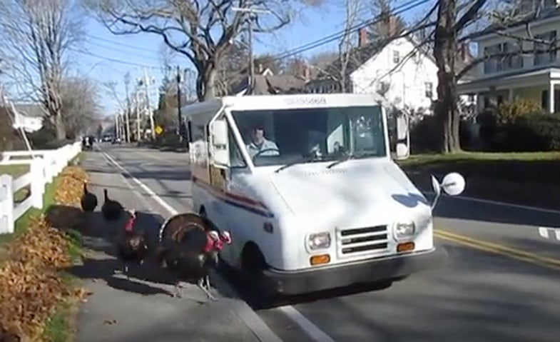 turkeys; falmouth, massachusetts; mail carrier; mailman