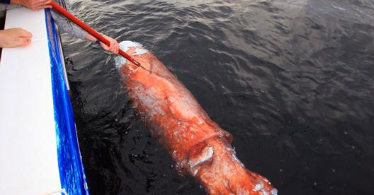 Exclusive Full-Length Video and Photos: Blue Sharks Feeding On a Giant Squid