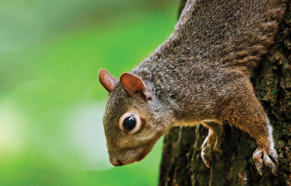 squirrel, squirrel hunting, hunting