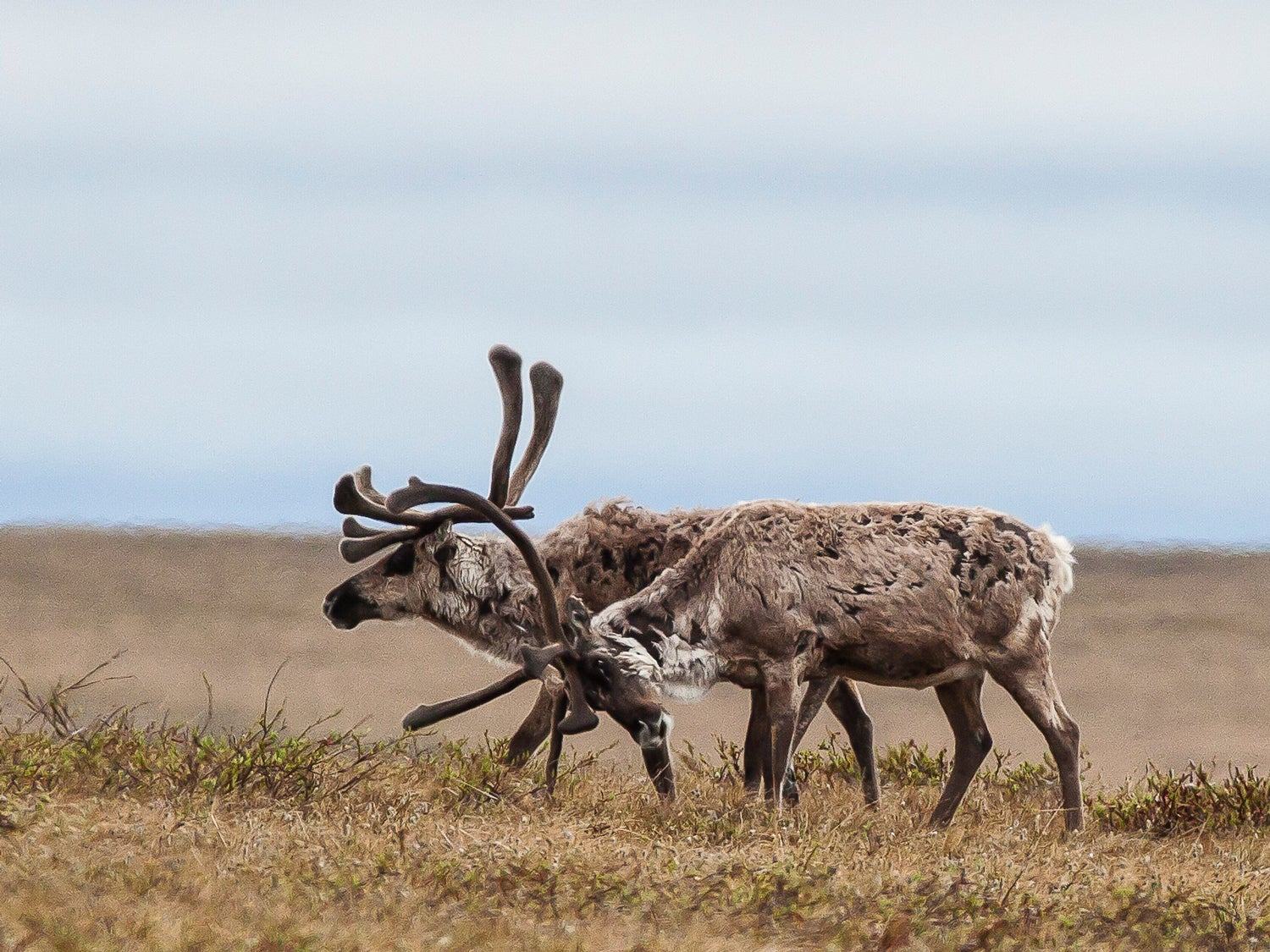 Lessons From Chasing Caribou With the Last Subsistence Hunters