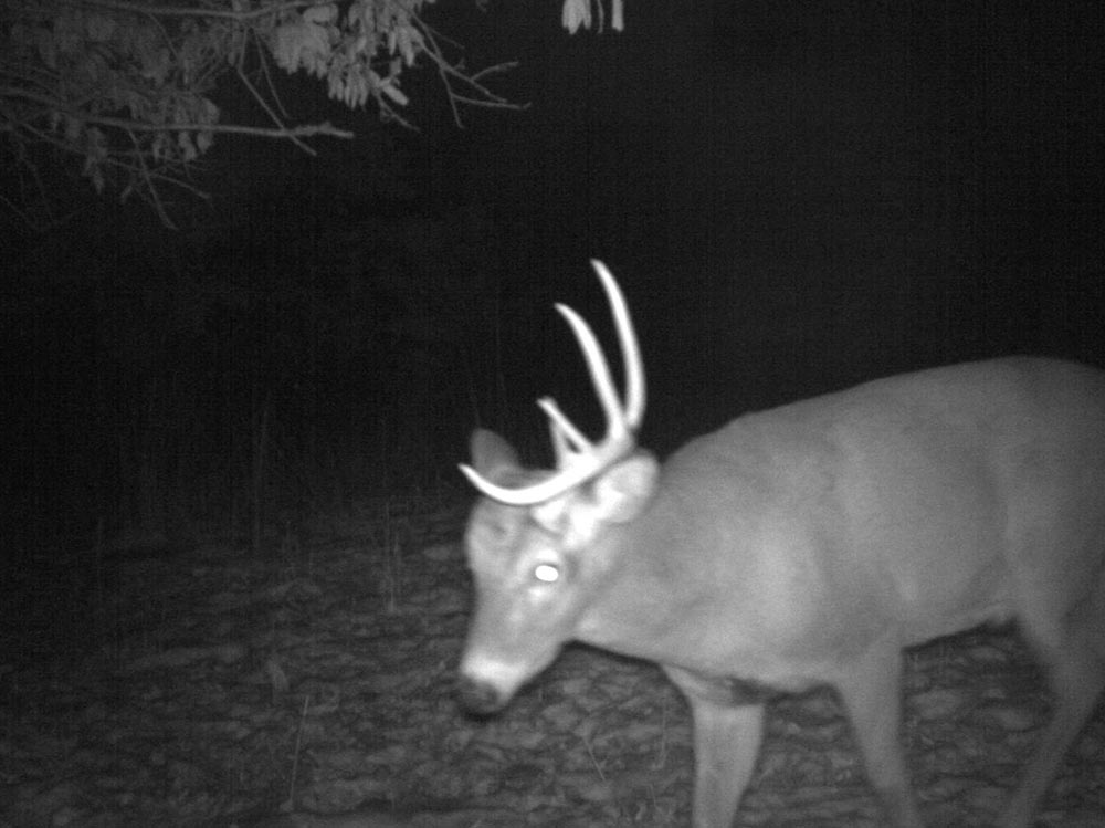 10-point buck sheds antlers