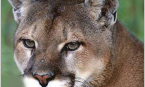 A Rumor of Cougar