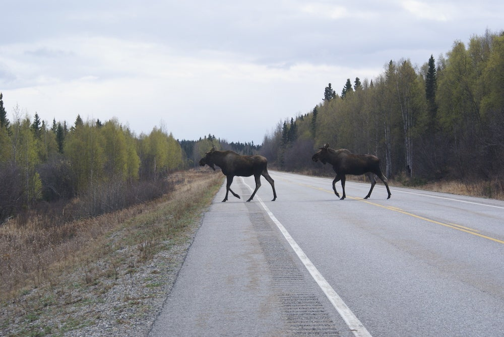 Highway Robbery: Roadkill Meat Intended for Charity Stolen in Alaska