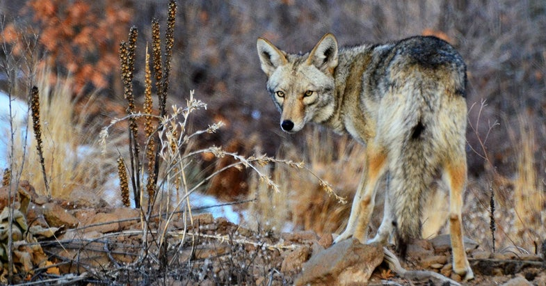 Coyote Sounds: Experts Reveal the Best Coyote Calls