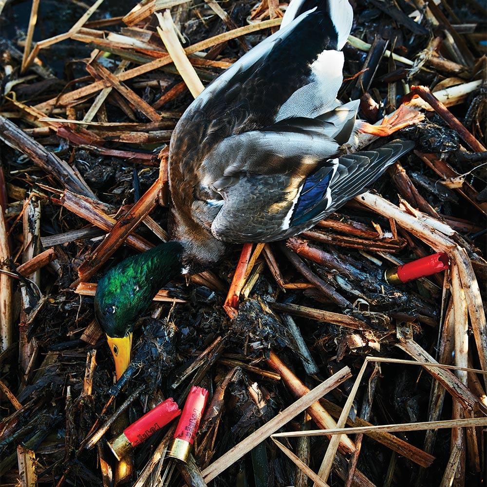 duck and shotgun shells