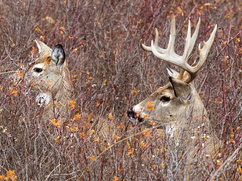 Doe and buck in cover.
