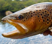 When Do You Stop Considering a Fish Species Invasive?