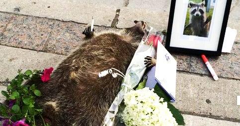 Toronto Memorializes Dead Raccoon