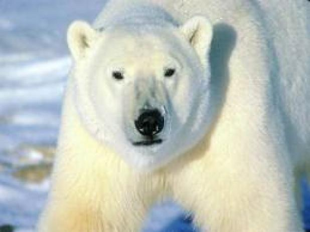 httpswww.fieldandstream.comsitesfieldandstream.comfilesimport2014importBlogPostembedFN_polar_bear.jpg