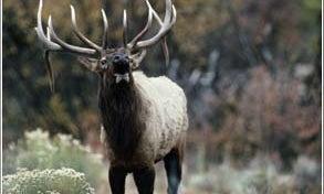 Upfront: Too Many Elk?