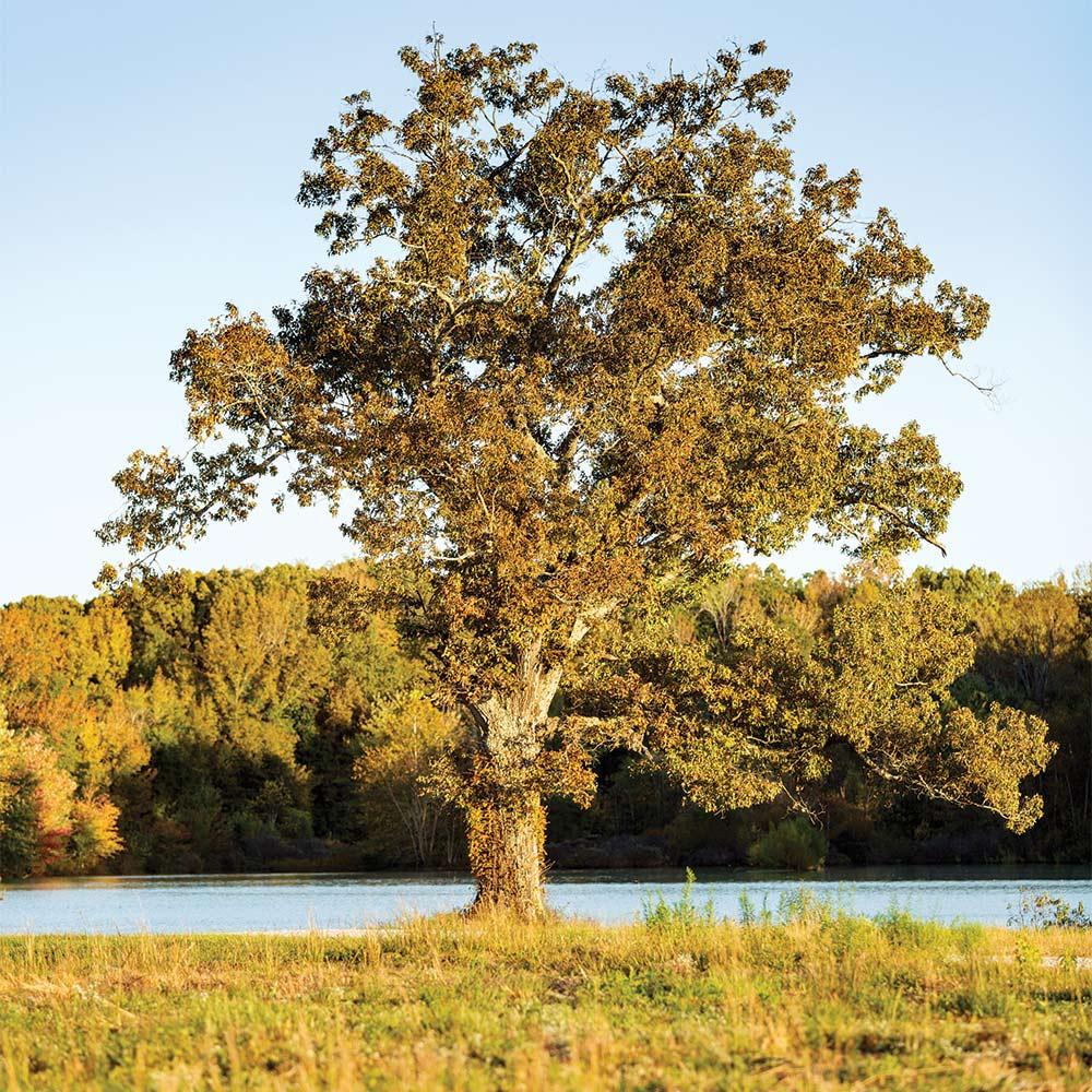 oak tree in public land