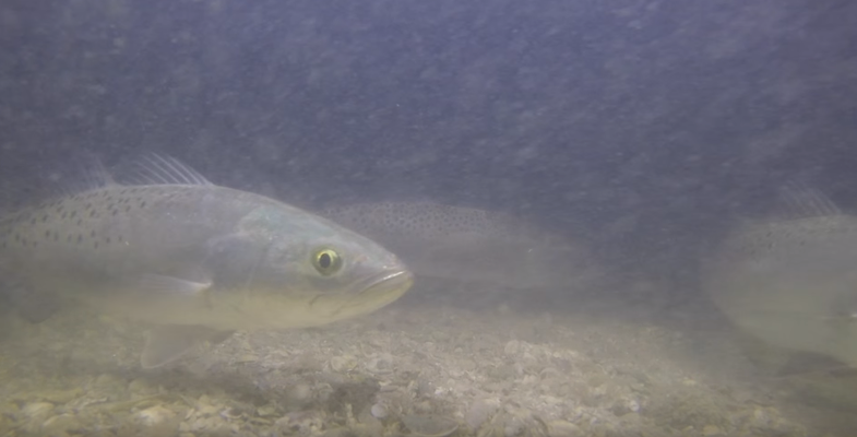 Underwater Footage Shows Speckled Trout Feasting on Prey