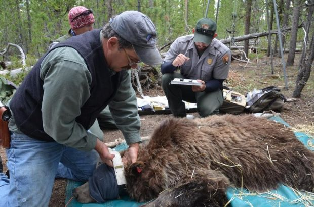 GPS Study: How Closely Do Grizzly Bears Follow Hunters?