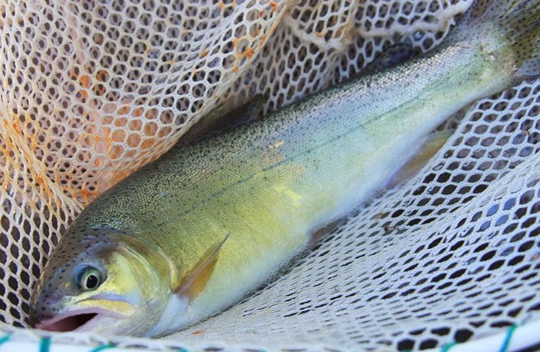 gila, trout, southwest, threatened