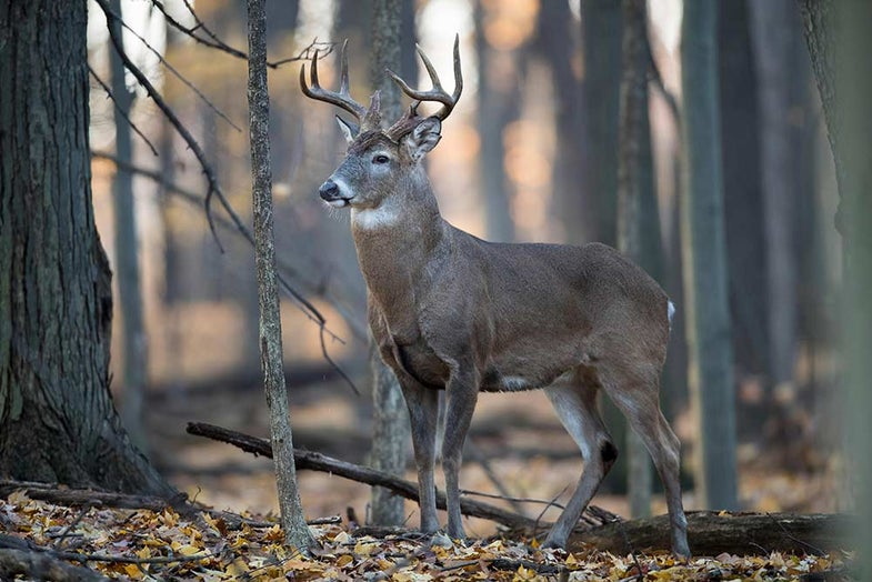 8 point whitetail buck in woods